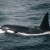 2907 orca