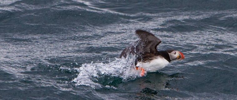 Puffins and seals