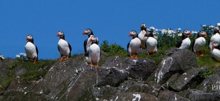 Our Puffin Season is here!