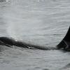 3007 orca 4