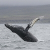 300718 humpback big breach WM