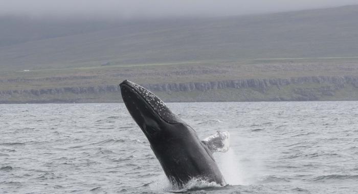 300718 humpback breach WM
