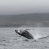 300718 humpback whale breach