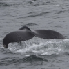 300718 humpback whale fluke