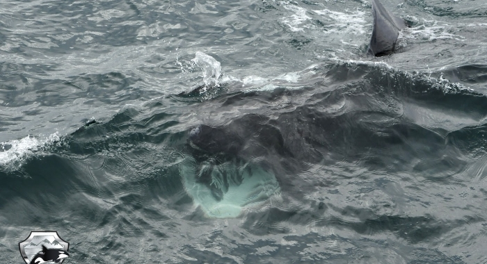 3107 basking shark 2