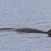 310718 Minke whale