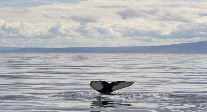 310718 humpback fluke in beautiful landscape