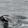 _IMG98460908 humpback tail Olafsvik