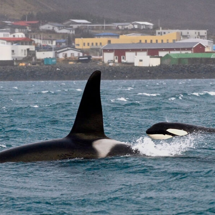 orcas in Grundarfjordur 22 Feb