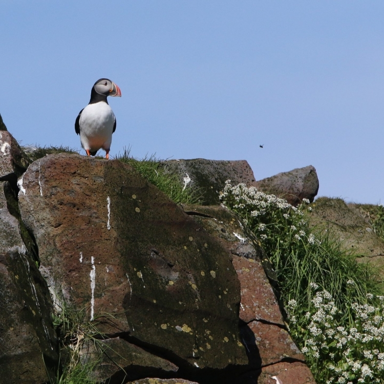 puffin on rocks