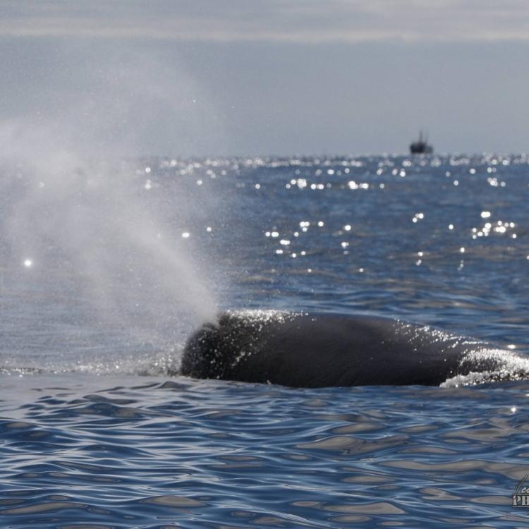 sperm whale head WM