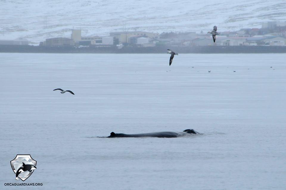Humpback whale right in Grundarfjördur!