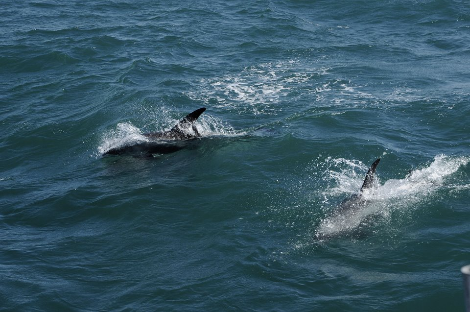 Group of white-beaked dolphins