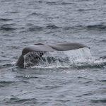 sperm whale migration iceland