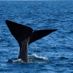 sperm whales in iceland - snaefellsnes boat tour