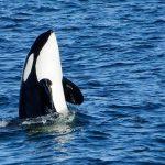 killer whales iceland