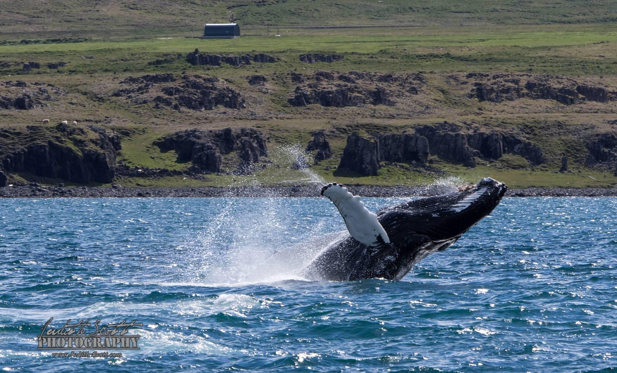 Humpbacks breaching