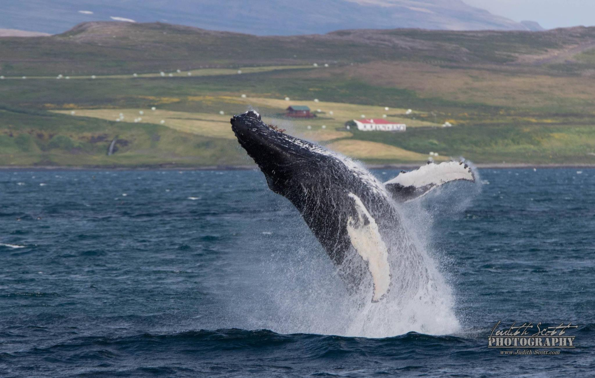 westfjords whale watching