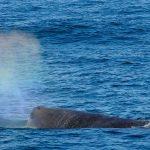 sperm whale snaefellsnes láki tours