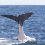 sperm whales iceland