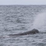 sperm whale watching snaefellsnes