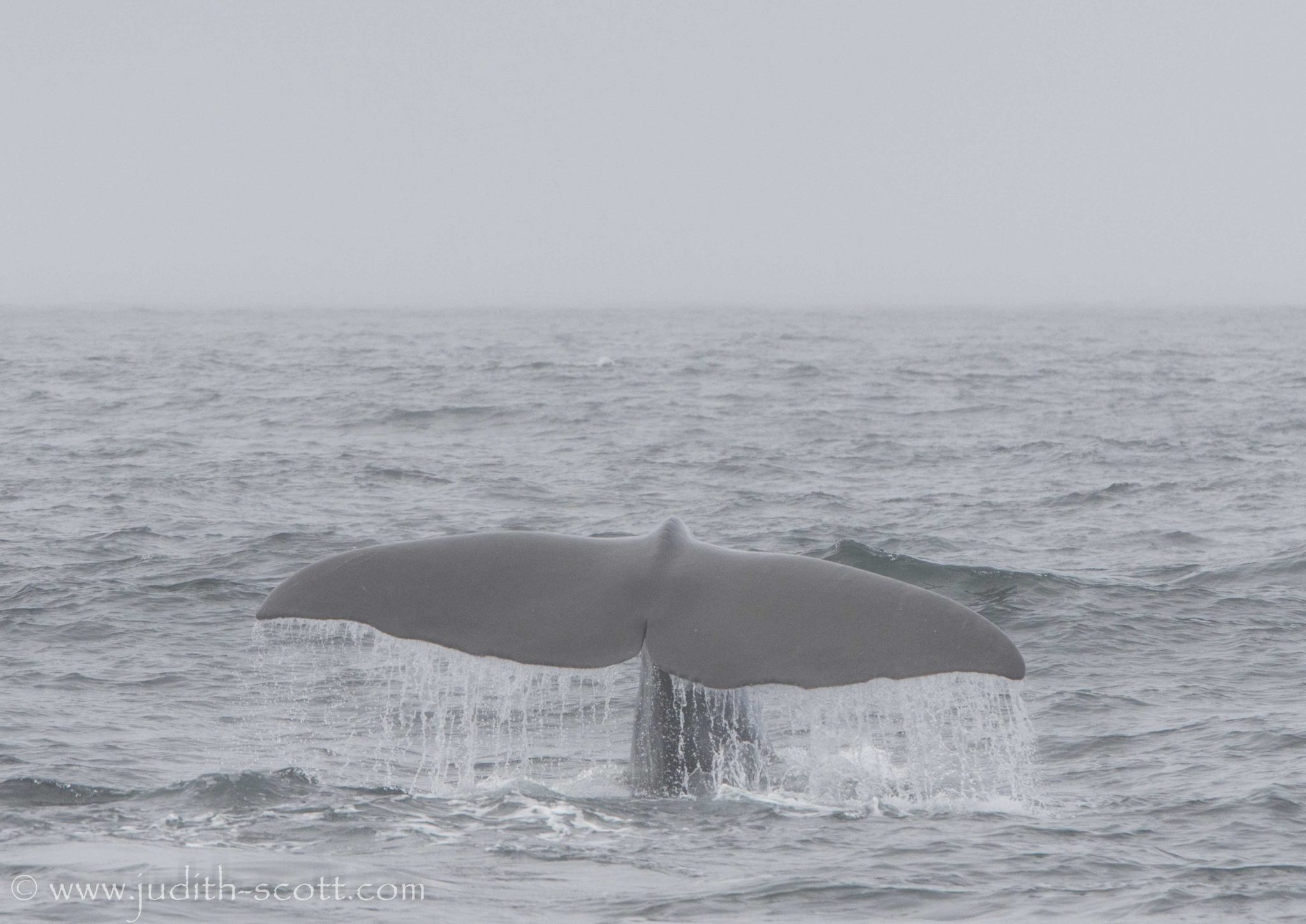sperm whale iceland