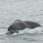 best whale watching tours iceland