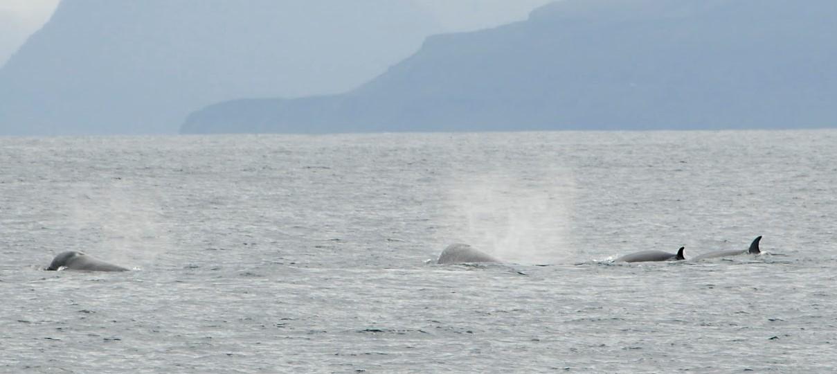 21/08/2018 Northern Bottlenose whales in Breidafjördur