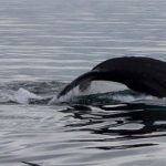 Iceland Whale Watching in September