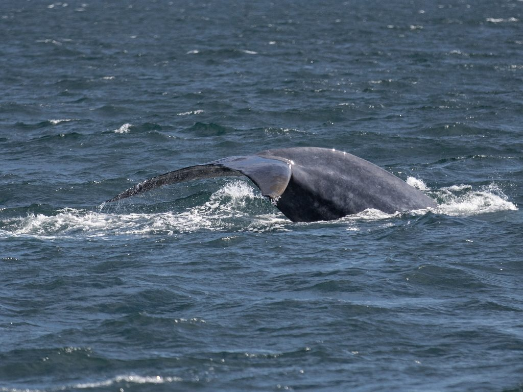 blue whale iceland