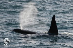 iceland whale watching in march