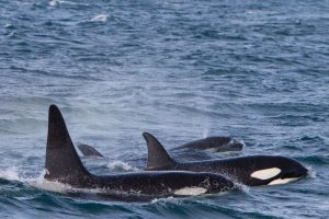 orcas in Island