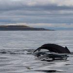 whale watching Holmavik in September