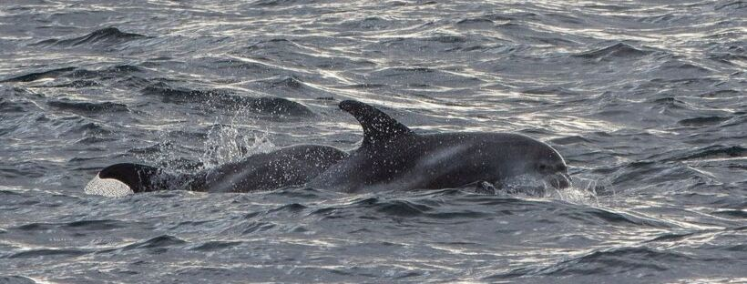 White Beaked Dolphins Iceland – Pictures from October 6, 2019