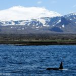 Best Things to Do in Snaefellsnes Peninsula Iceland - Whale Watching with Láki Tours