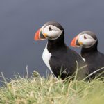 Grimsey Puffin Tour Westfjords