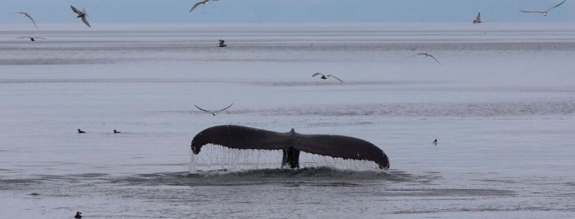 Iceland Whale Watching July 2019 in the Remote Westfjords