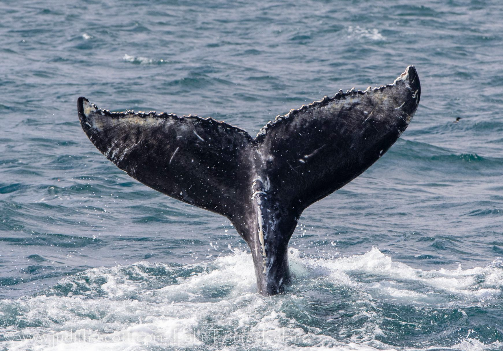 Iceland Whale Watching June Westfjords