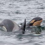 Walbeobachtung Island - Wale in Island - Whale Watching Island