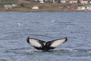 Whale Watching Holmavik July