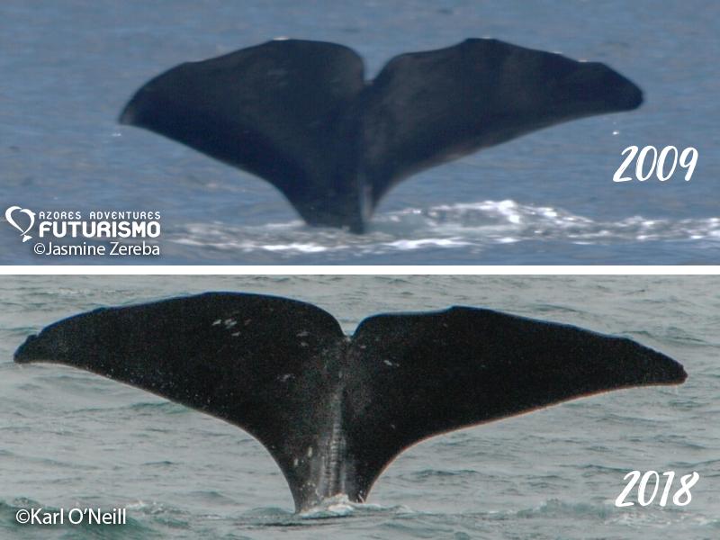 sperm whale migration Iceland Azores