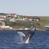 010718 humpback breach in Drangsnes harbour!