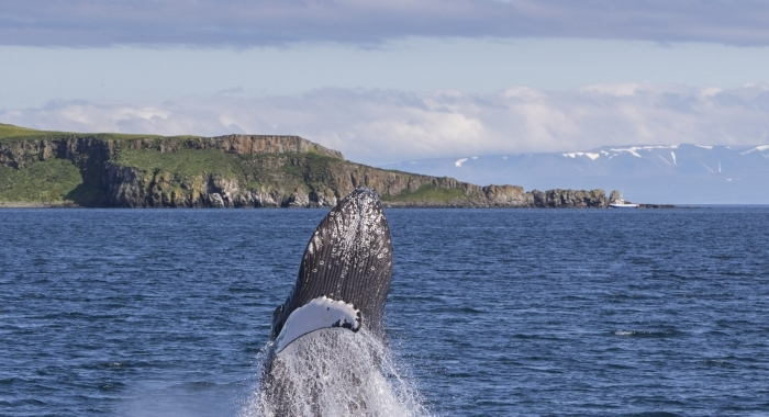 010718 humpback breach in front of island