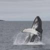 010718 humpback morning breach