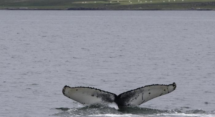 010818 humpback whale ID