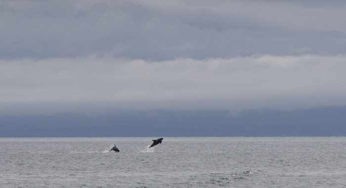010818 leaping dolphins
