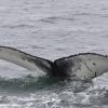 020718 humpback fluke ID