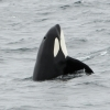 0208 big orca spy hop