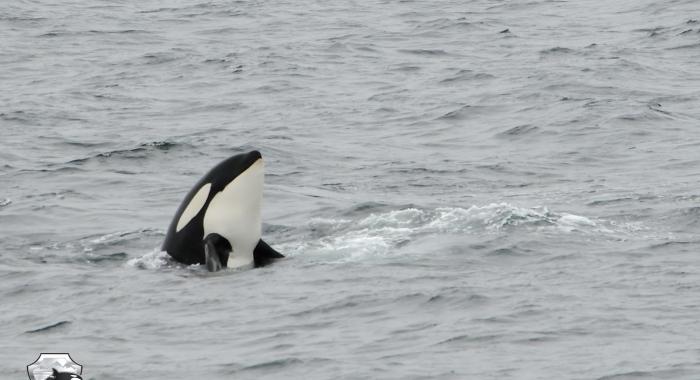 0208 orca spy hop