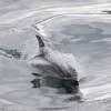 020818 whitebeaked dolphin coming in
